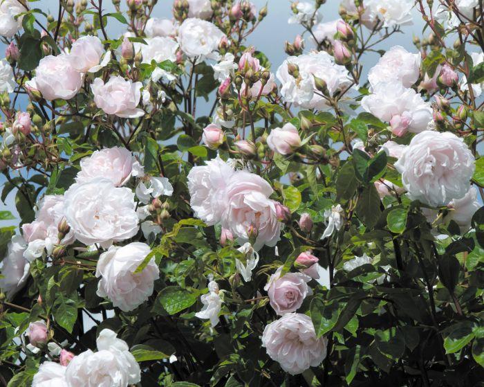 Роза дженерос гарденер